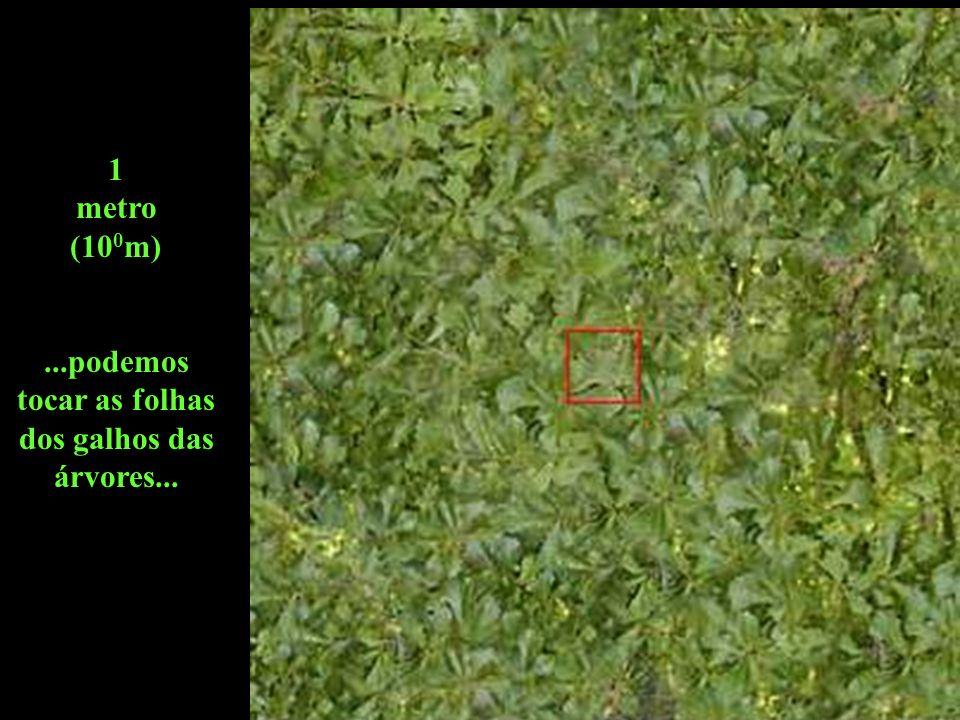 1 metro (10 0 m)...podemos tocar as folhas dos galhos das árvores...