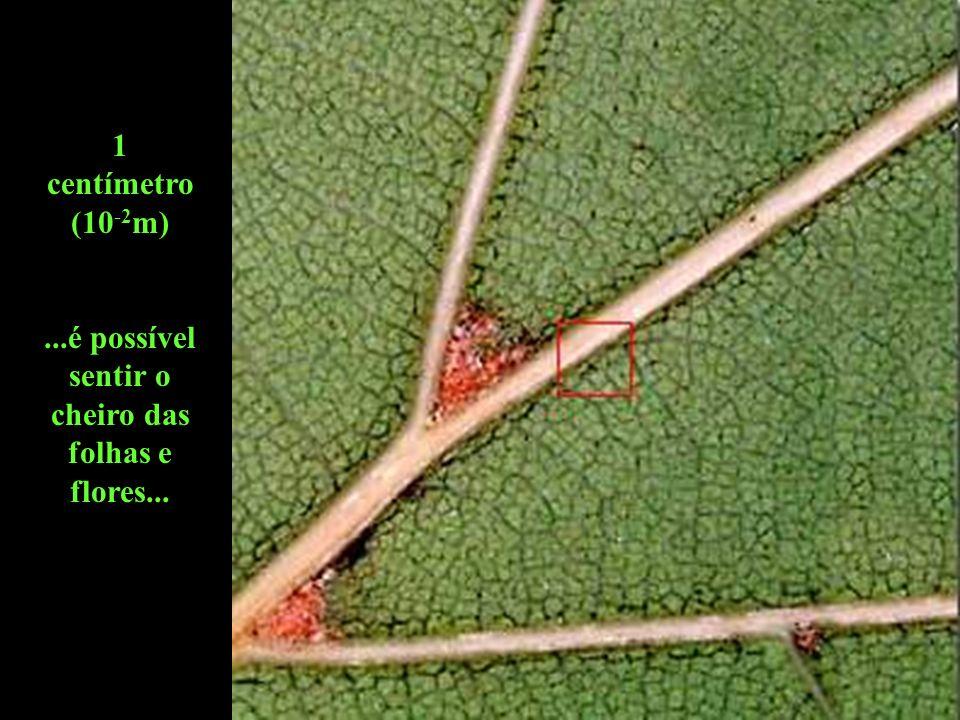 1 centímetro (10 -2 m)...é possível sentir o cheiro das folhas e flores...