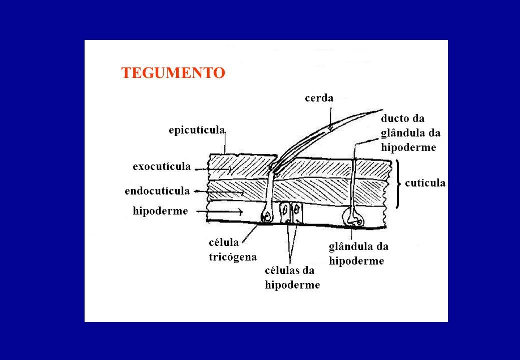 epicutícula exocutícula endocutícula hipoderme células da hipoderme TEGUMENTO cutícula cerda célula tricógena glândula da hipoderme ducto da glândula