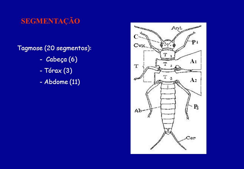 SEGMENTAÇÃO C P P A1A1 A2A2 Tagmose (20 segmentos): - Cabeça (6) - Tórax (3) - Abdome (11)