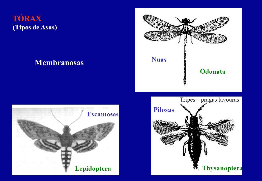 TÓRAX (Tipos de Asas) Membranosas Nuas Escamosas Pilosas Odonata Thysanoptera Lepidoptera Tripes – pragas lavouras