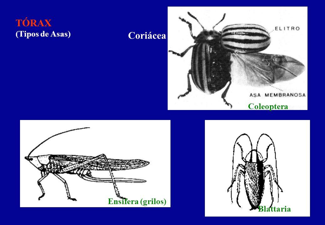 TÓRAX (Tipos de Asas) Coriácea Coleoptera Blattaria Ensifera (grilos)