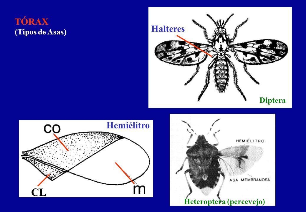 TÓRAX (Tipos de Asas) Halteres Hemiélitro Diptera Heteroptera (percevejo) CL