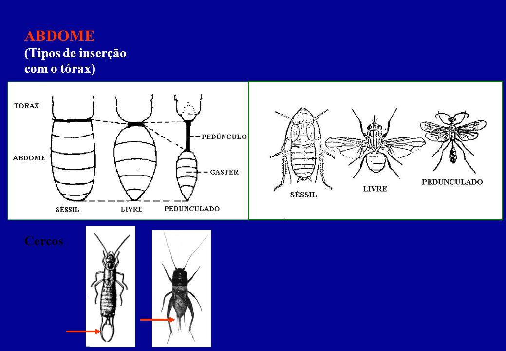 ABDOME (Tipos de inserção com o tórax) Cercos