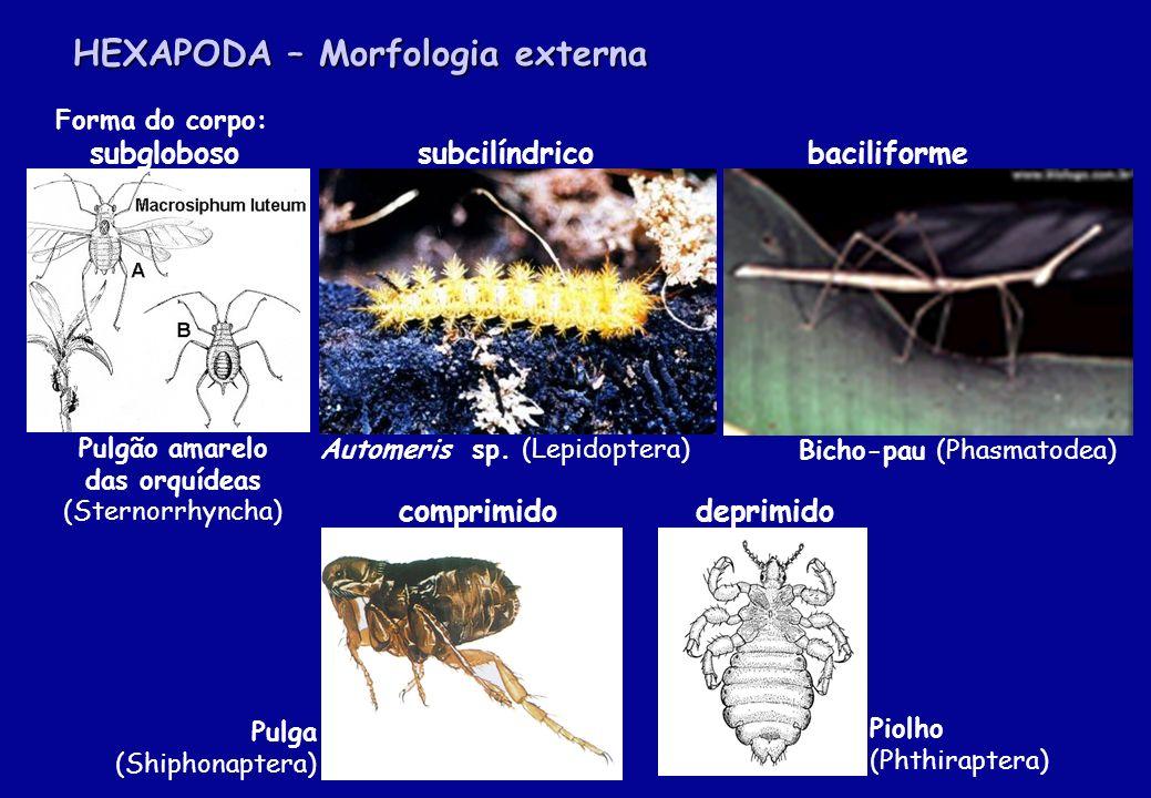 HEXAPODA – Morfologia externa Forma do corpo: subgloboso subcilíndrico baciliforme comprimido deprimido Pulgão amarelo das orquídeas (Sternorrhyncha)