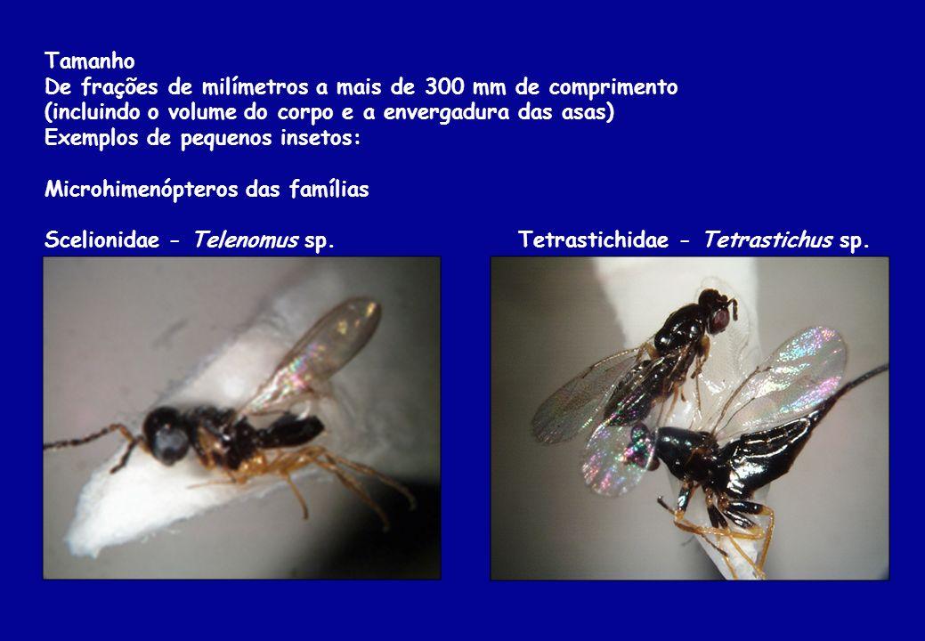 Tamanho De frações de milímetros a mais de 300 mm de comprimento (incluindo o volume do corpo e a envergadura das asas) Exemplos de pequenos insetos: