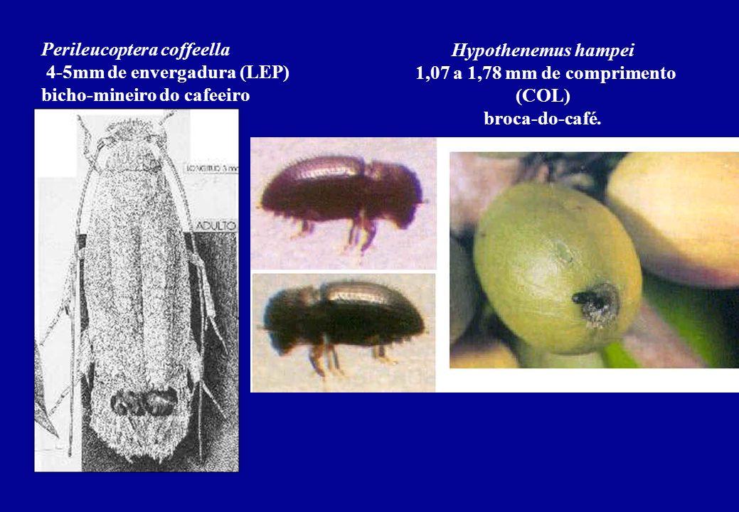 Perileucoptera coffeella 4-5mm de envergadura (LEP) bicho-mineiro do cafeeiro Hypothenemus hampei 1,07 a 1,78 mm de comprimento (COL) broca-do-café.