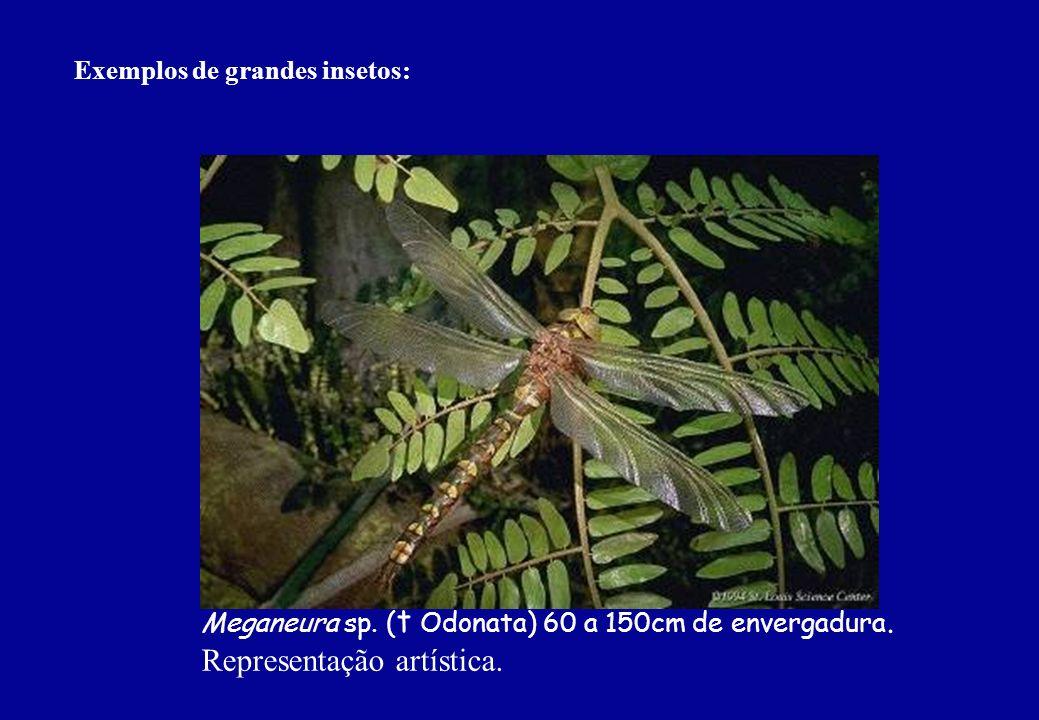 Exemplos de grandes insetos: Meganeura sp. ( t Odonata) 60 a 150cm de envergadura. Representação artística.