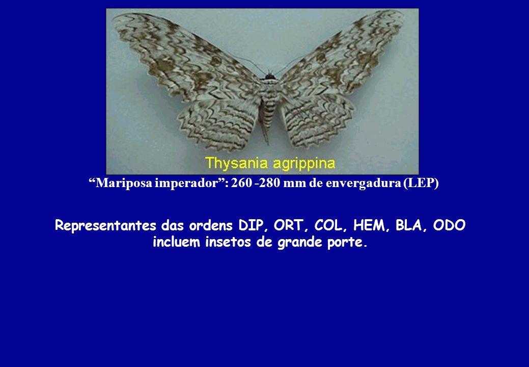 Mariposa imperador: 260 -280 mm de envergadura (LEP) Representantes das ordens DIP, ORT, COL, HEM, BLA, ODO incluem insetos de grande porte.