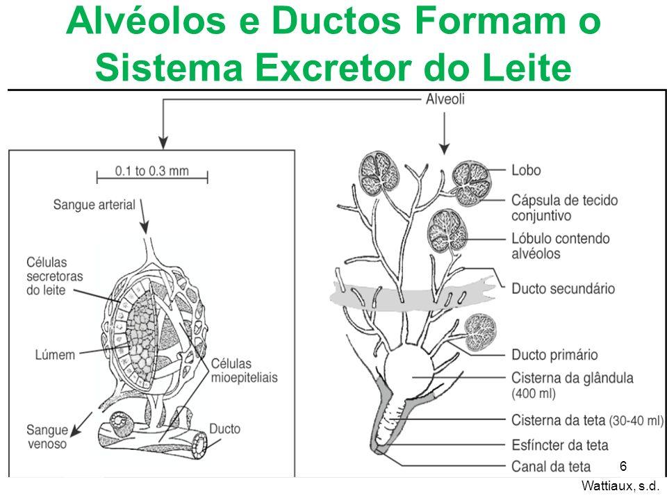 Alvéolos e Ductos Formam o Sistema Excretor do Leite 6