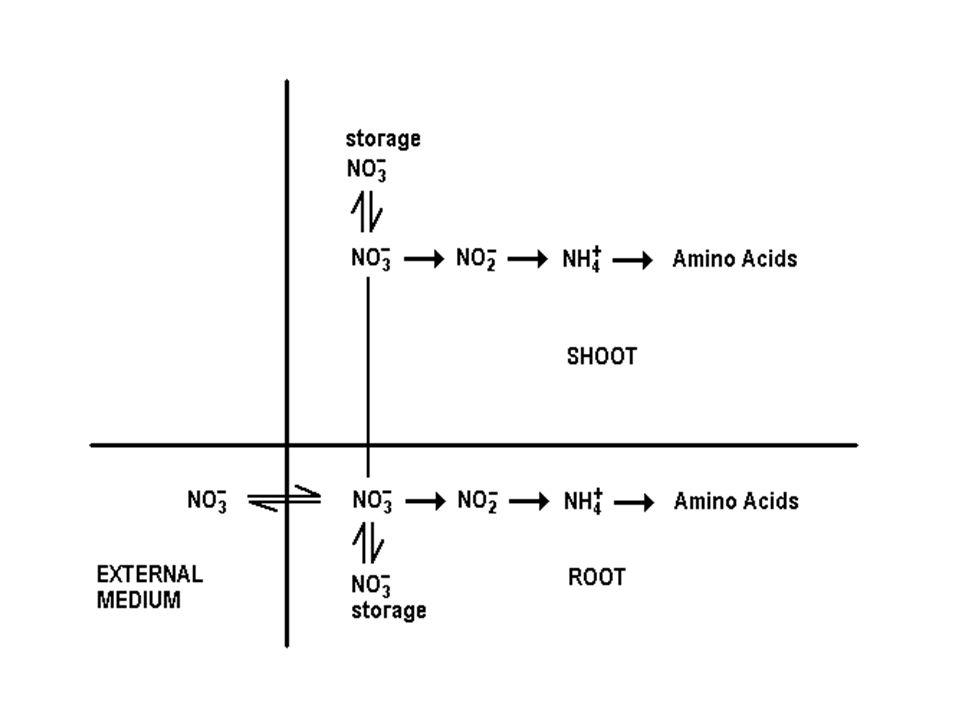 NO CITOSOL RN NO 3 - + 2 H + + 2 e - NO 2 - + H 2 O. NO CLOROPLASTO OU PLASTÍDEO RNi NO 2 - + 8 H + + 6 e - NH 4 + + 2 H 2 O