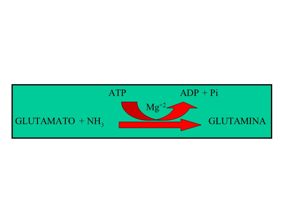 Porta de entrada da amônia para a formação dos aminoácidos em plantas superiores. É uma proteína octamérica com massa molecular de 350-400 KDa, com 12