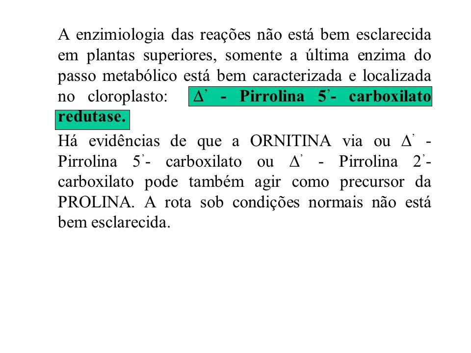 PROLINA (Pro) A prolina é sintetizada da seguinte forma: ATP ADP + Pi Mg +2 ciclado Glu Glutamil semialdeído Pirrolina 5 - Carboxilato NADPH + H + NAD