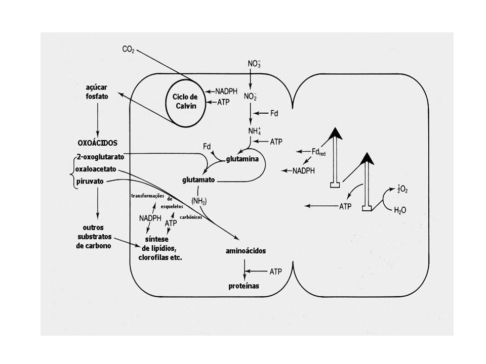 9.Uma grande quantidade de proteínas(p.ex. subunidades de RUBISCO, ATP-Sintetases e certos citocromos) são codificados pelo DNA cloroplástico e, porta
