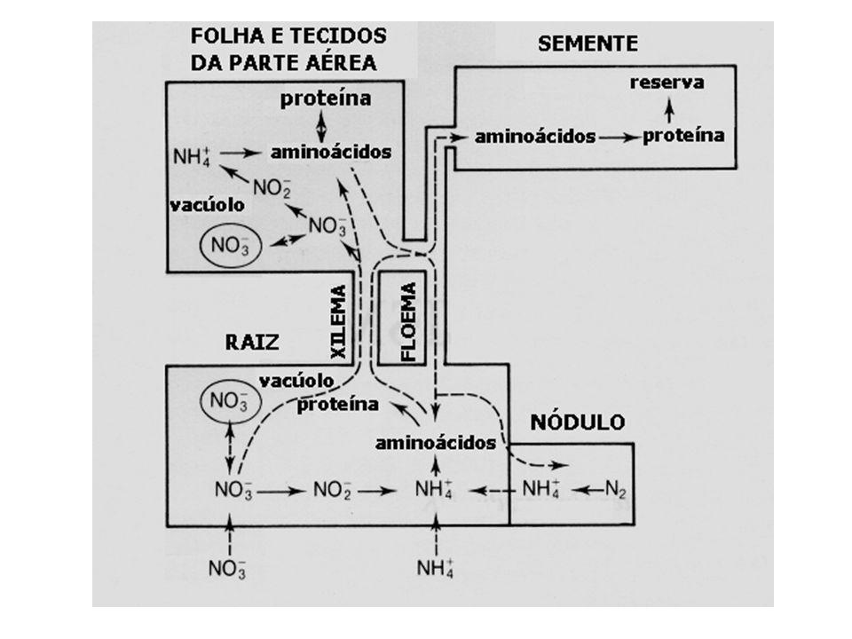 Amonificação: Liberação de NH 4 + para o meio ambiente. Nitrificação: formação de NO 3 - por ação de bactérias. 2 NH 3 + 3 O 2 2 NO 2 - + 2 H + + 2 H