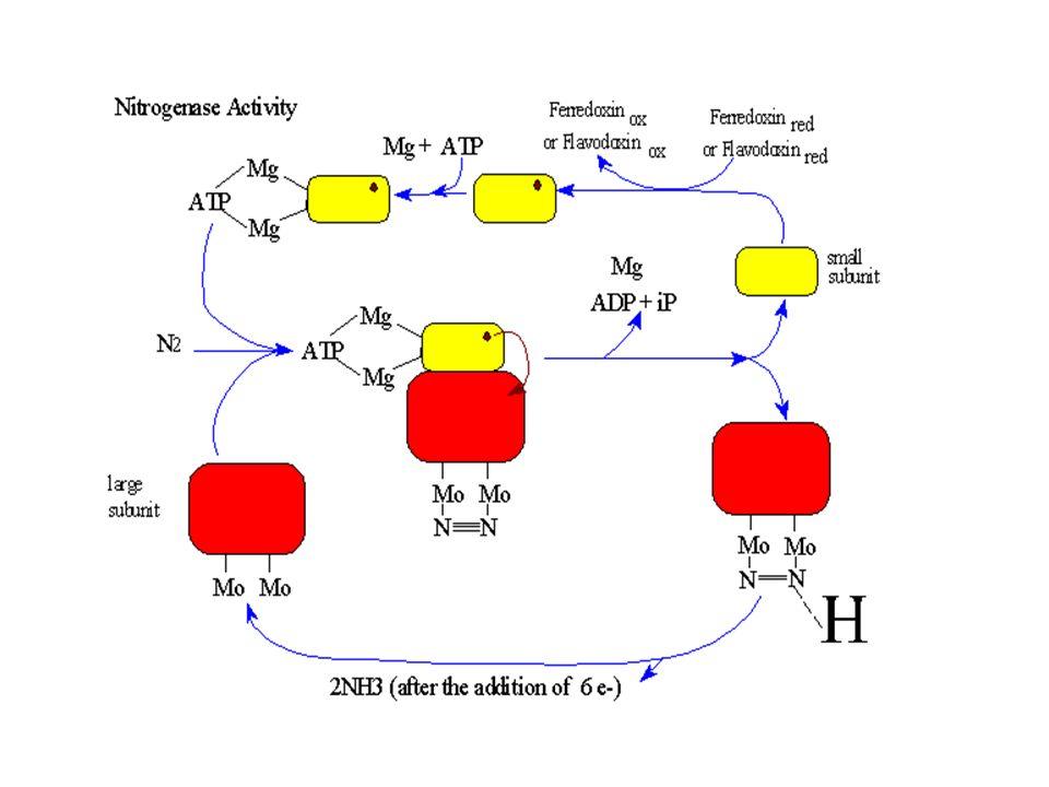 A ferridoxina, na sua forma reduzida, transfere um elétron para a unidade Fe-proteína da nitrogenase. A Fe-proteína, então reduzida, doa o elétron rec