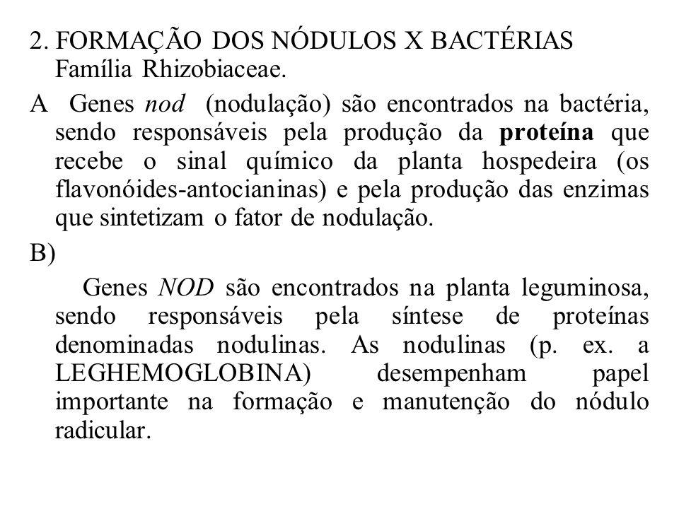 GENES ENVOLVIDOS NA FIXAÇÃO BIOLÓGICA DO NITROGÊNIO 1. NAS BACTÉRIAS: Família Rhizobiaceae. Genes nif, aparentemente estão envolvidos com a síntese da