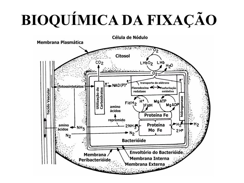 2. FORMAÇÃO DOS NÓDULOS X BACTÉRIAS Família Rhizobiaceae. A Genes nod (nodulação) são encontrados na bactéria, sendo responsáveis pela produção da pro