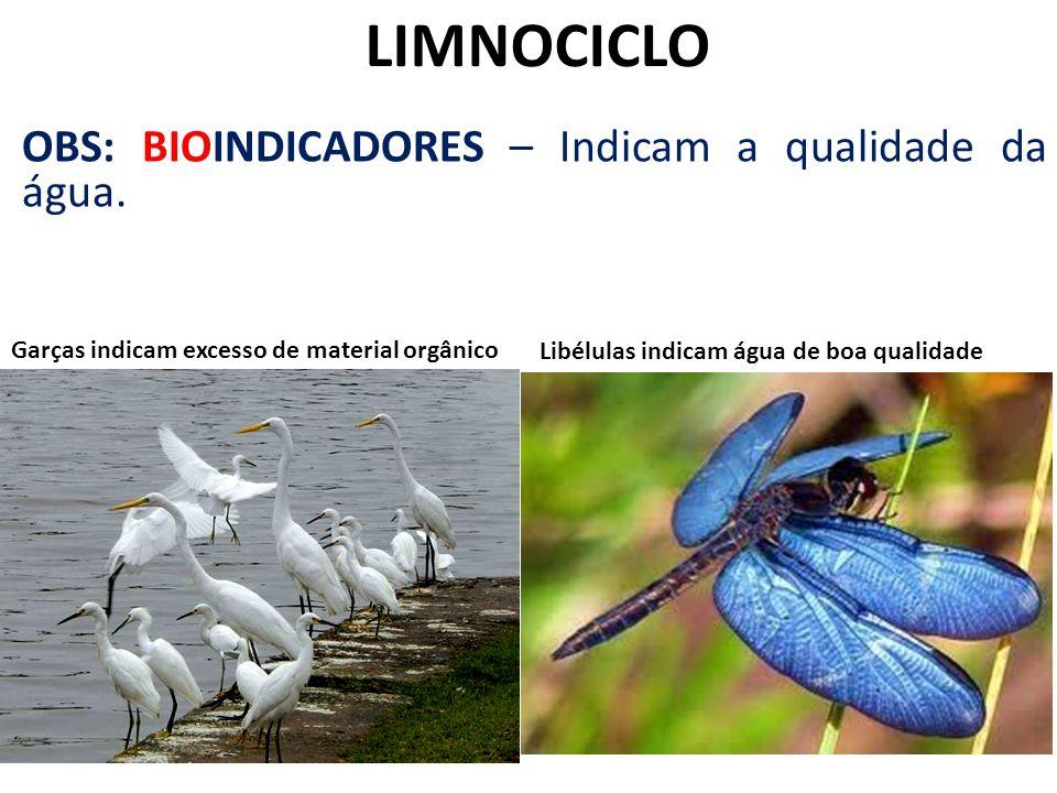 LIMNOCICLO OBS: BIOINDICADORES – Indicam a qualidade da água. Garças indicam excesso de material orgânico Libélulas indicam água de boa qualidade