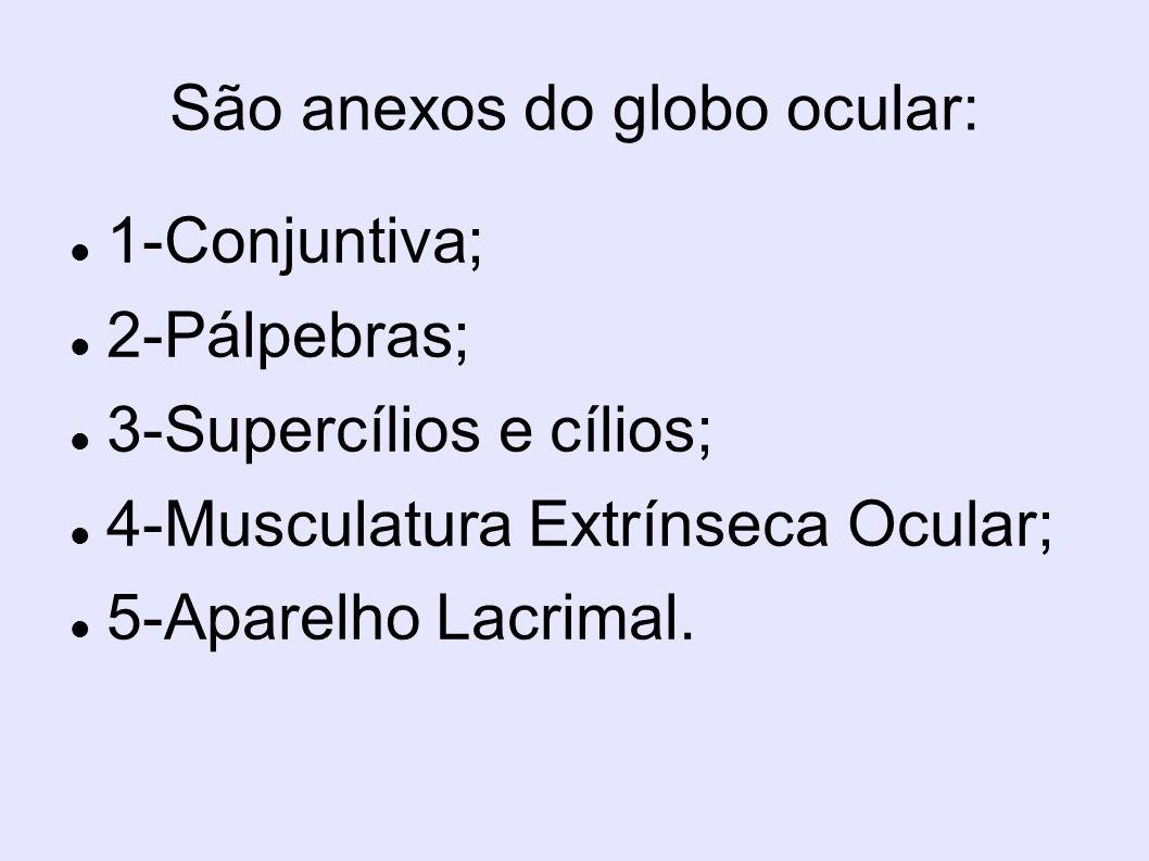 São anexos do globo ocular: 1-Conjuntiva; 2-Pálpebras; 3-Supercílios e cílios; 4-Musculatura Extrínseca Ocular; 5-Aparelho Lacrimal.