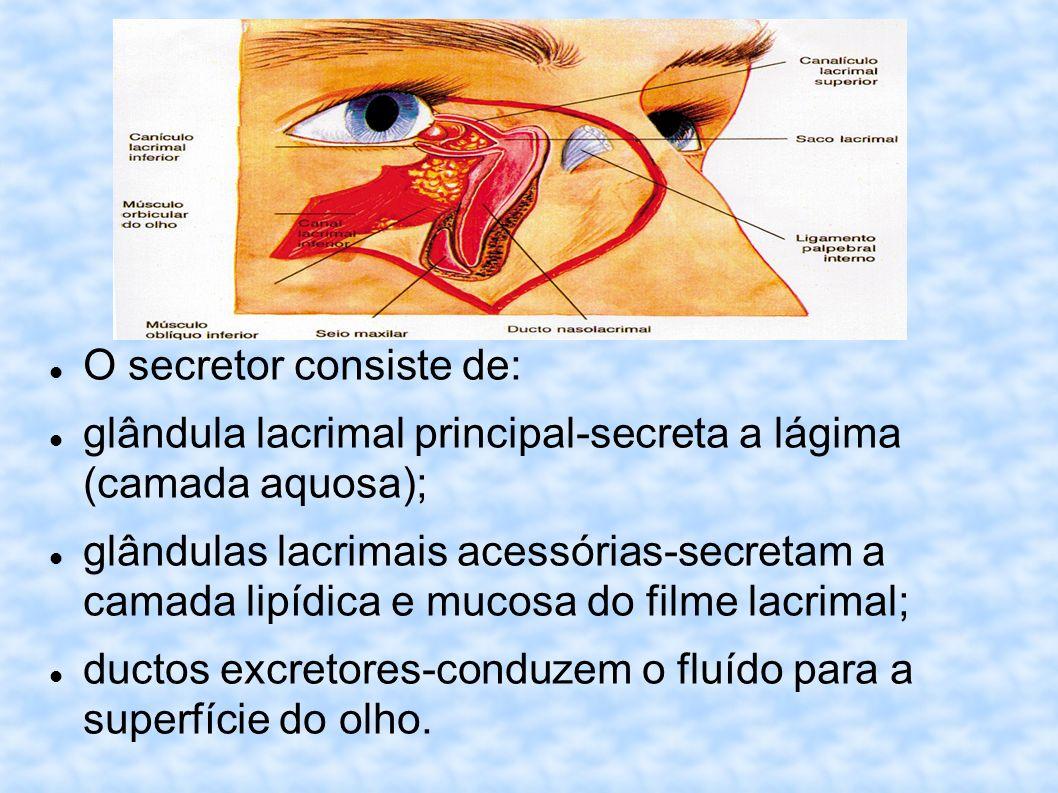 O secretor consiste de: glândula lacrimal principal-secreta a lágima (camada aquosa); glândulas lacrimais acessórias-secretam a camada lipídica e muco