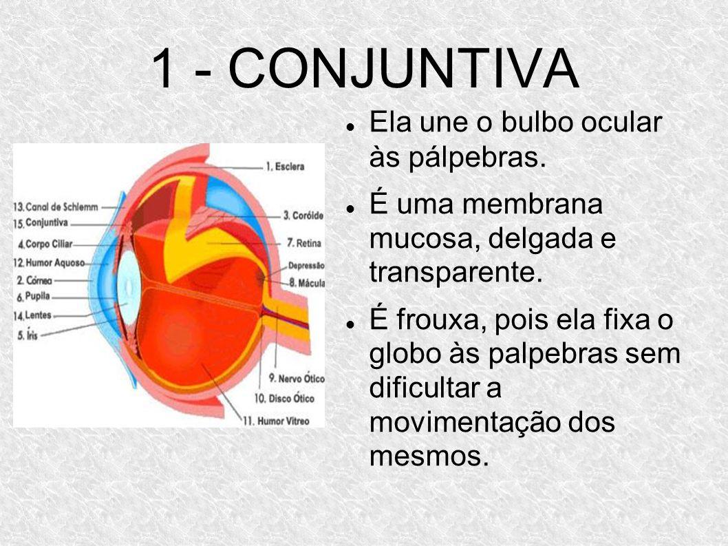 1 - CONJUNTIVA Ela une o bulbo ocular às pálpebras. É uma membrana mucosa, delgada e transparente. É frouxa, pois ela fixa o globo às palpebras sem di