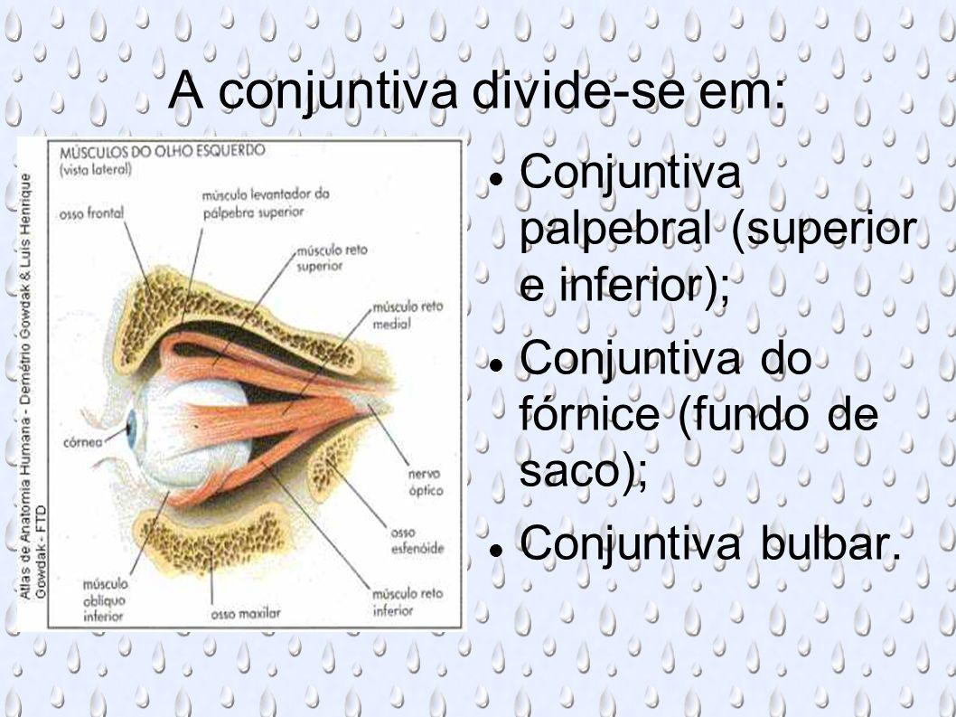 O músculo orbicular das pálpebras apresenta duas partes: a orbital e a palpebral.