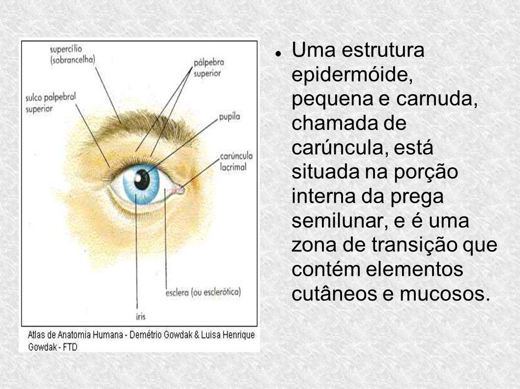 Uma estrutura epidermóide, pequena e carnuda, chamada de carúncula, está situada na porção interna da prega semilunar, e é uma zona de transição que c