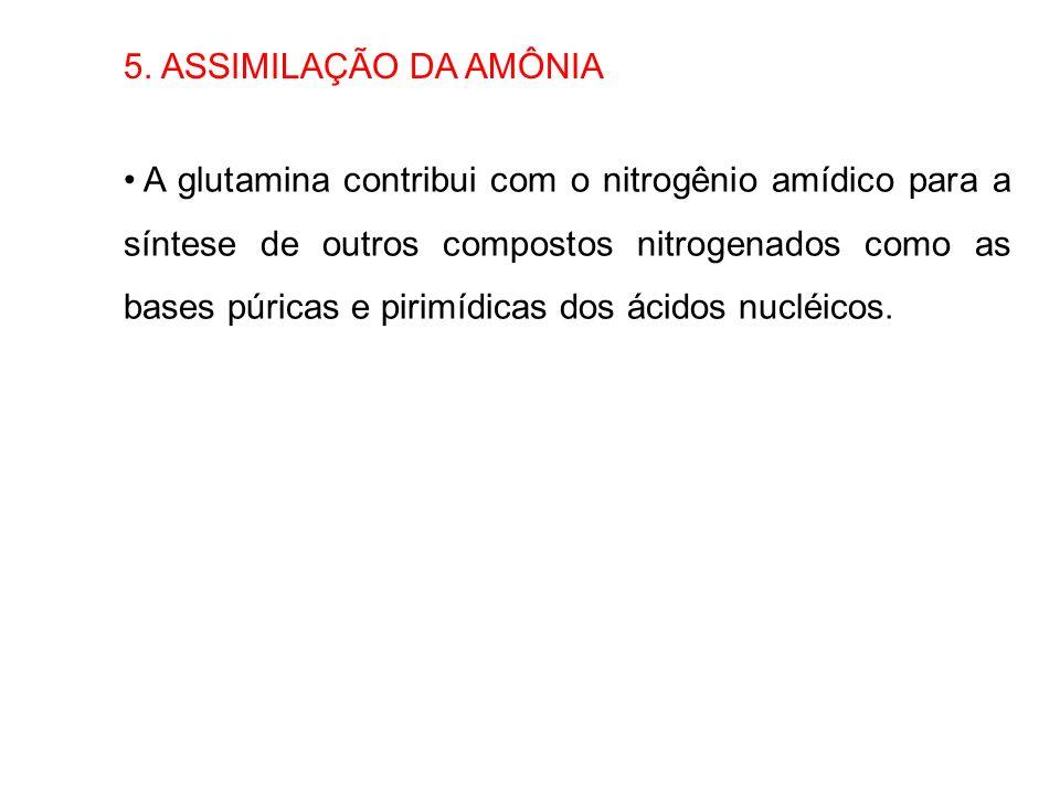 5. ASSIMILAÇÃO DA AMÔNIA A glutamina contribui com o nitrogênio amídico para a síntese de outros compostos nitrogenados como as bases púricas e pirimí