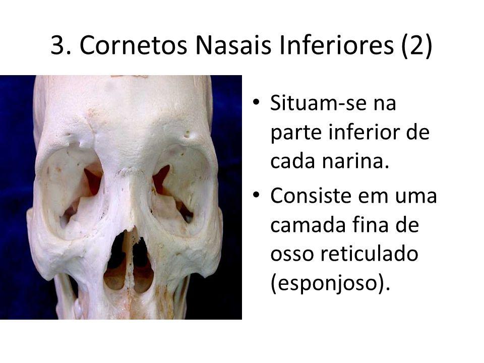 3. Cornetos Nasais Inferiores (2) Situam-se na parte inferior de cada narina. Consiste em uma camada fina de osso reticulado (esponjoso).