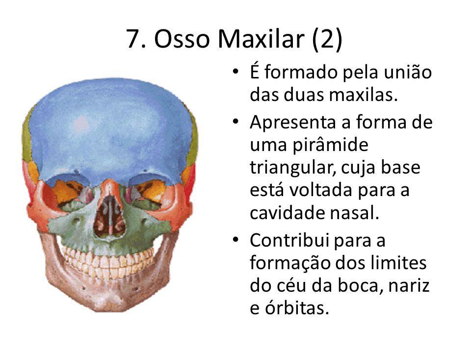 7. Osso Maxilar (2) É formado pela união das duas maxilas. Apresenta a forma de uma pirâmide triangular, cuja base está voltada para a cavidade nasal.