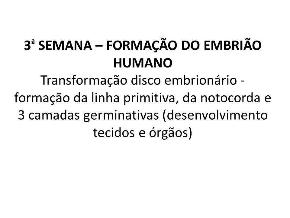 3 ª SEMANA – FORMAÇÃO DO EMBRIÃO HUMANO Transformação disco embrionário - formação da linha primitiva, da notocorda e 3 camadas germinativas (desenvol