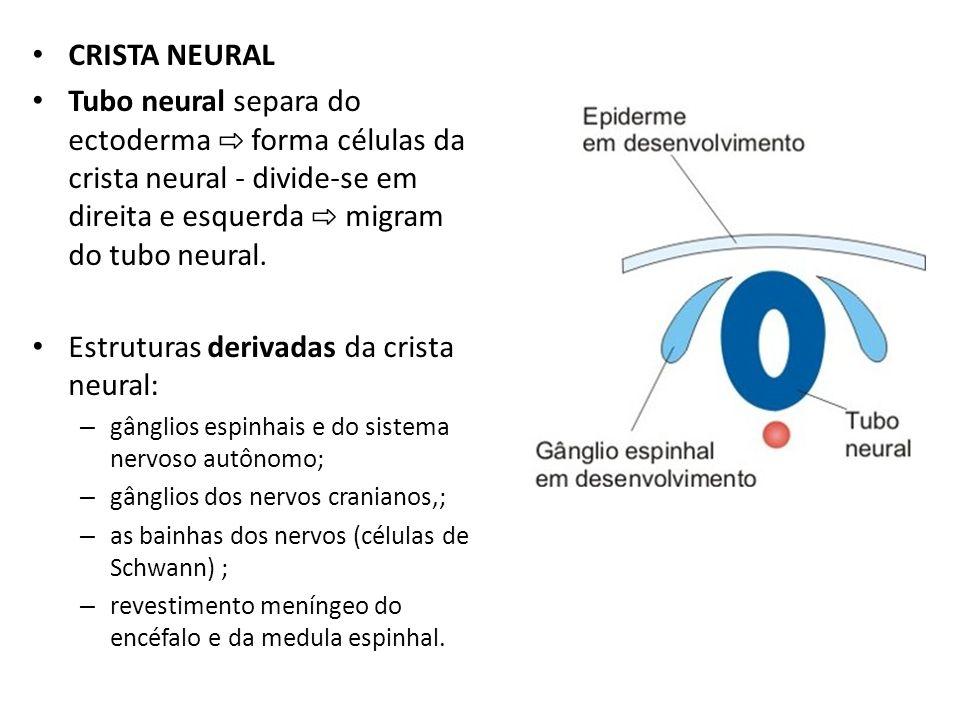 CRISTA NEURAL Tubo neural separa do ectoderma forma células da crista neural - divide-se em direita e esquerda migram do tubo neural. Estruturas deriv