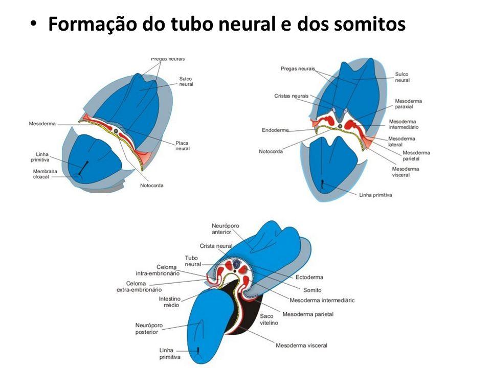 Formação do tubo neural e dos somitos