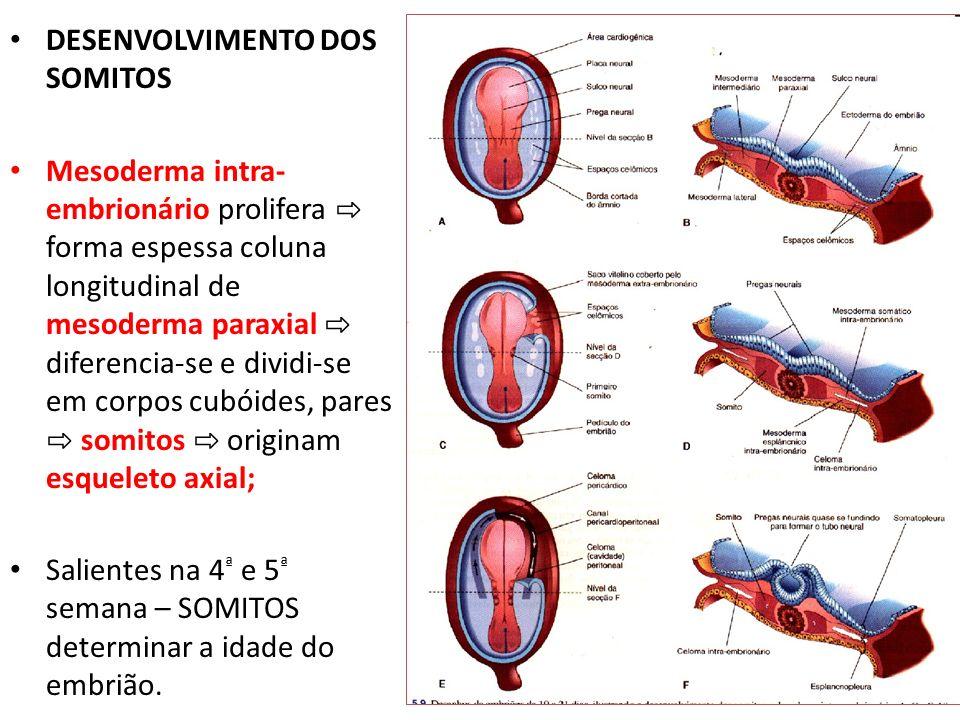DESENVOLVIMENTO DOS SOMITOS Mesoderma intra- embrionário prolifera forma espessa coluna longitudinal de mesoderma paraxial diferencia-se e dividi-se e