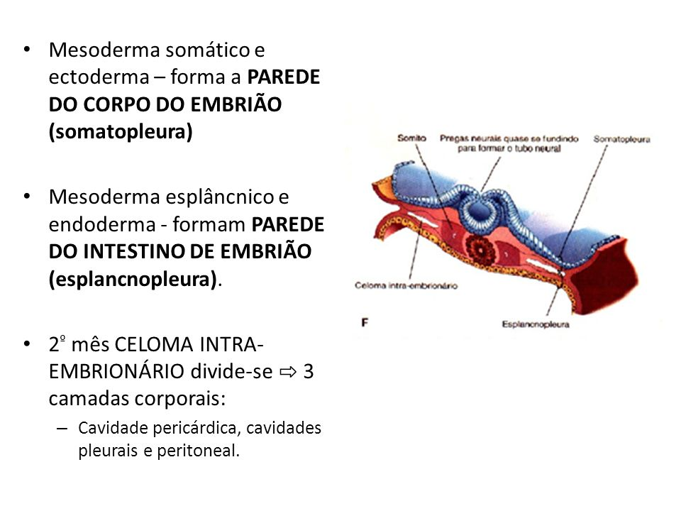 Mesoderma somático e ectoderma – forma a PAREDE DO CORPO DO EMBRIÃO (somatopleura) Mesoderma esplâncnico e endoderma - formam PAREDE DO INTESTINO DE E