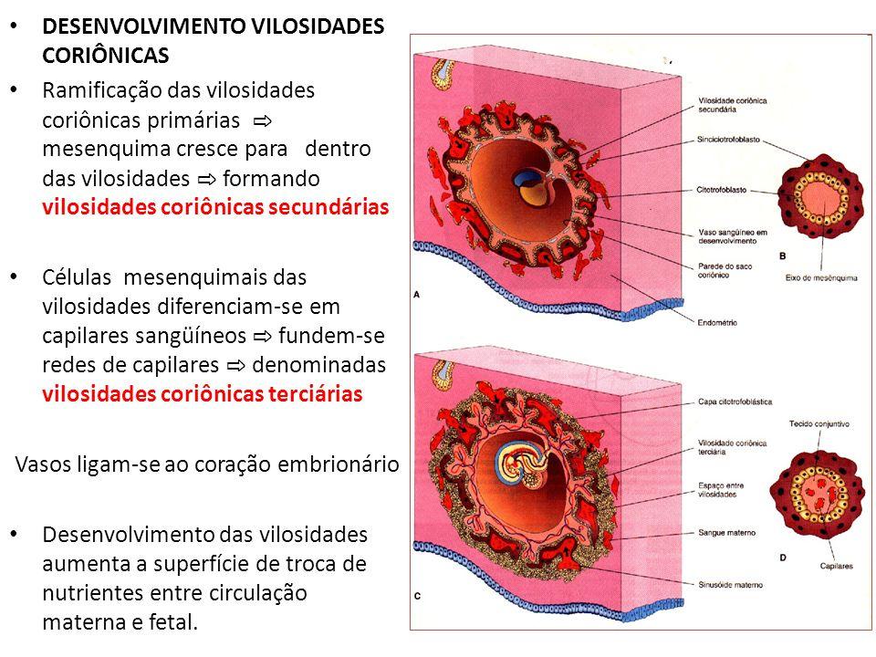 DESENVOLVIMENTO VILOSIDADES CORIÔNICAS Ramificação das vilosidades coriônicas primárias mesenquima cresce para dentro das vilosidades formando vilosid