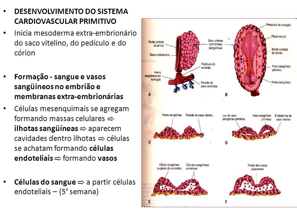 DESENVOLVIMENTO DO SISTEMA CARDIOVASCULAR PRIMITIVO Inicia mesoderma extra-embrionário do saco vitelino, do pedículo e do córion Formação - sangue e v