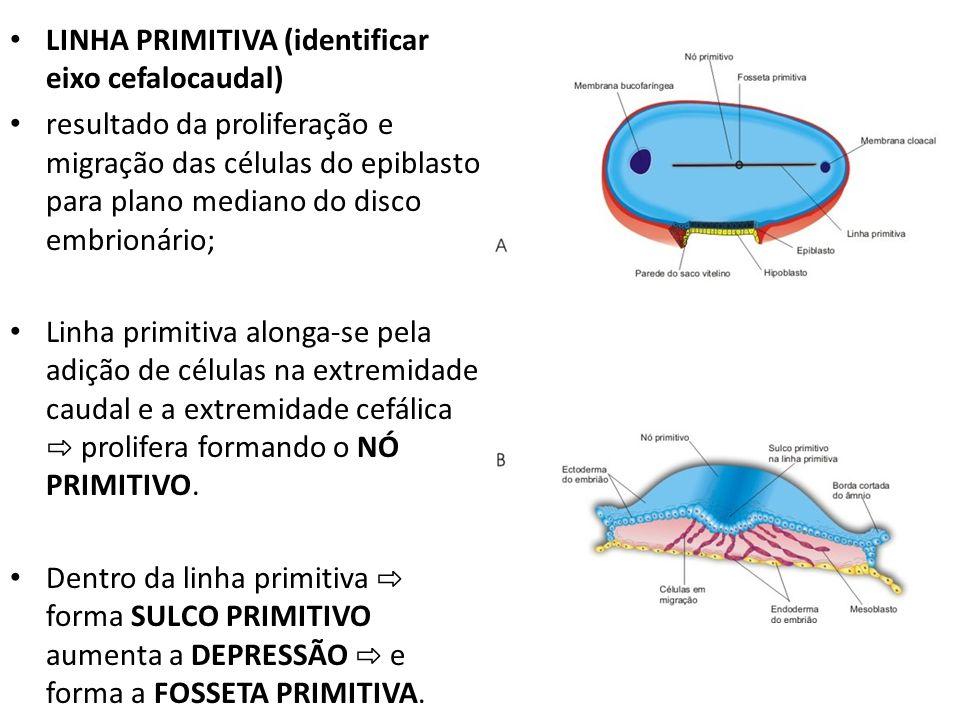 LINHA PRIMITIVA (identificar eixo cefalocaudal) resultado da proliferação e migração das células do epiblasto para plano mediano do disco embrionário;