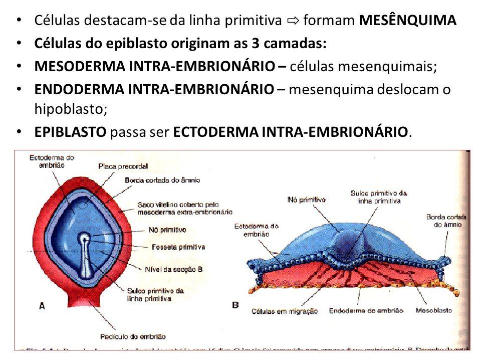 Células destacam-se da linha primitiva formam MESÊNQUIMA Células do epiblasto originam as 3 camadas: MESODERMA INTRA-EMBRIONÁRIO – células mesenquimai