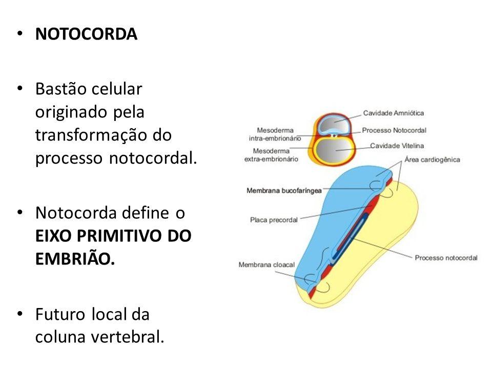 NOTOCORDA Bastão celular originado pela transformação do processo notocordal. Notocorda define o EIXO PRIMITIVO DO EMBRIÃO. Futuro local da coluna ver