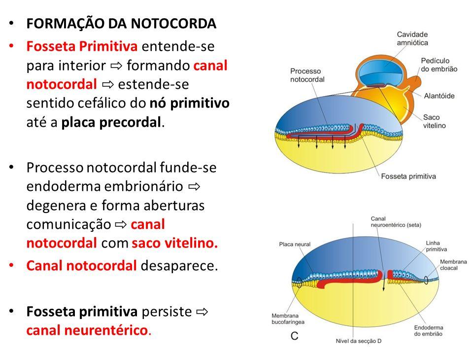FORMAÇÃO DA NOTOCORDA Fosseta Primitiva entende-se para interior formando canal notocordal estende-se sentido cefálico do nó primitivo até a placa pre
