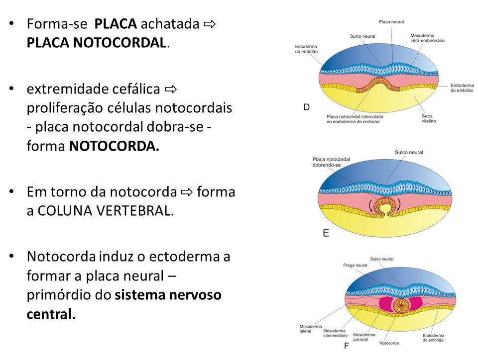 Forma-se PLACA achatada PLACA NOTOCORDAL. extremidade cefálica proliferação células notocordais - placa notocordal dobra-se - forma NOTOCORDA. Em torn
