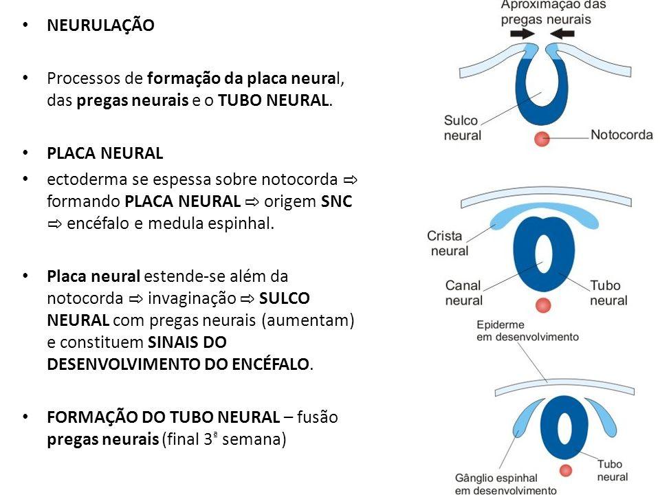 NEURULAÇÃO Processos de formação da placa neural, das pregas neurais e o TUBO NEURAL. PLACA NEURAL ectoderma se espessa sobre notocorda formando PLACA