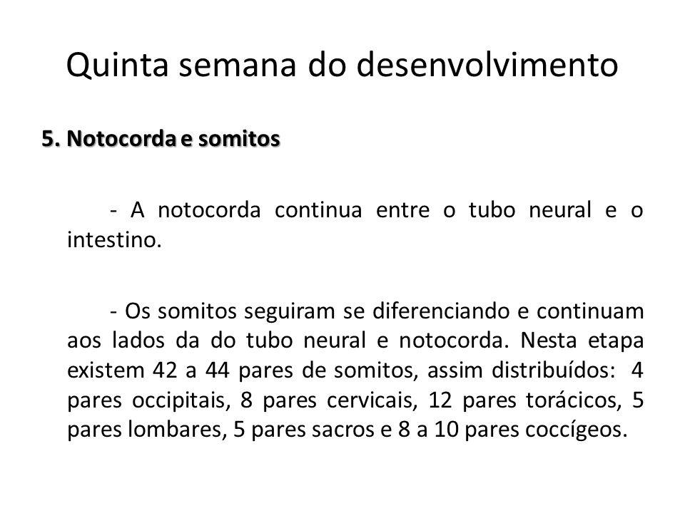 5. Notocorda e somitos - A notocorda continua entre o tubo neural e o intestino. - Os somitos seguiram se diferenciando e continuam aos lados da do tu