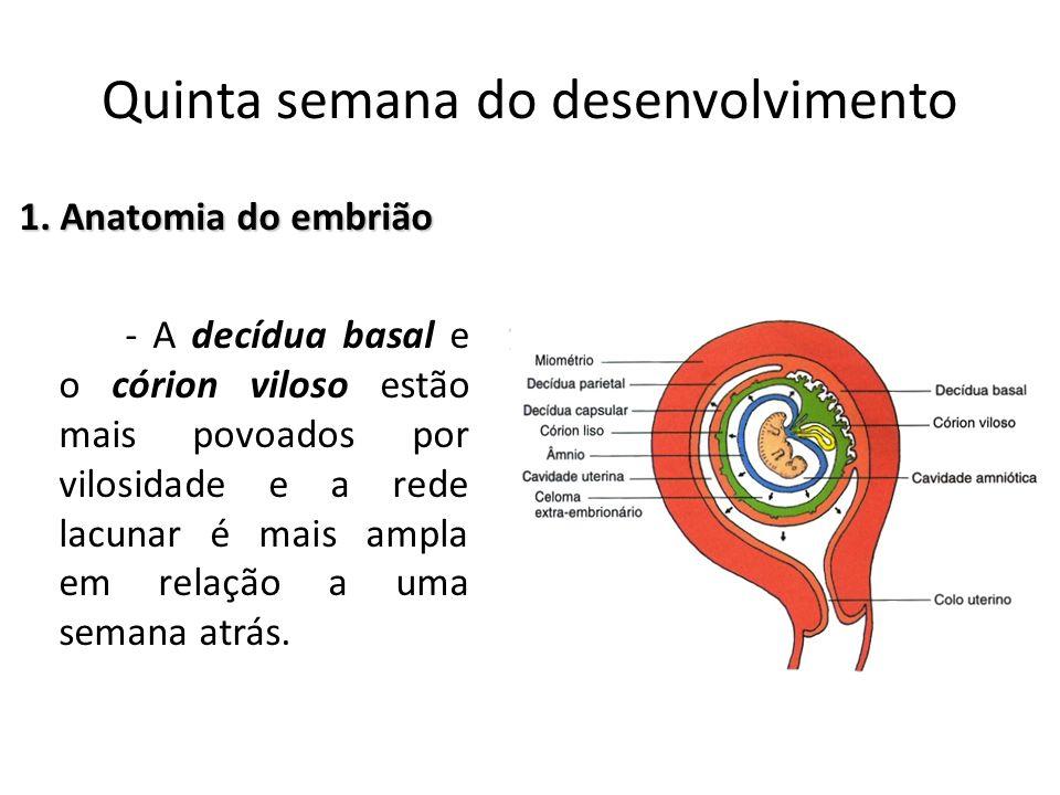 1. Anatomia do embrião - A decídua basal e o córion viloso estão mais povoados por vilosidade e a rede lacunar é mais ampla em relação a uma semana at