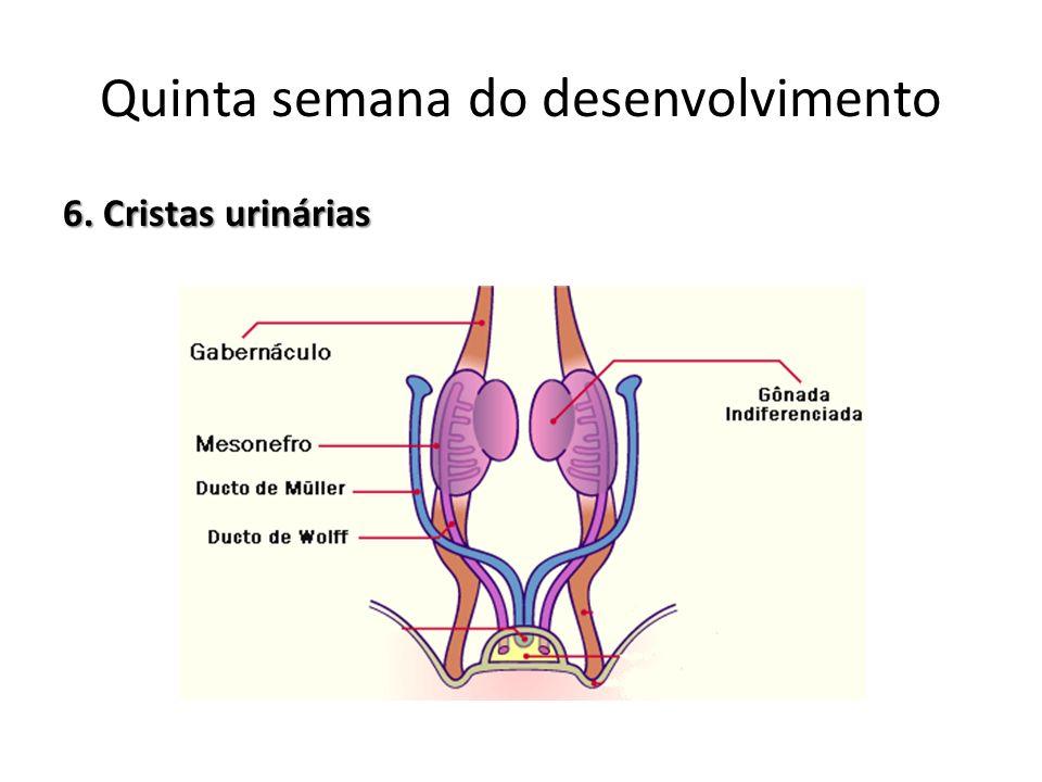 6. Cristas urinárias Quinta semana do desenvolvimento