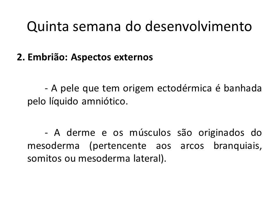 2. Embrião: Aspectos externos - A pele que tem origem ectodérmica é banhada pelo líquido amniótico. - A derme e os músculos são originados do mesoderm