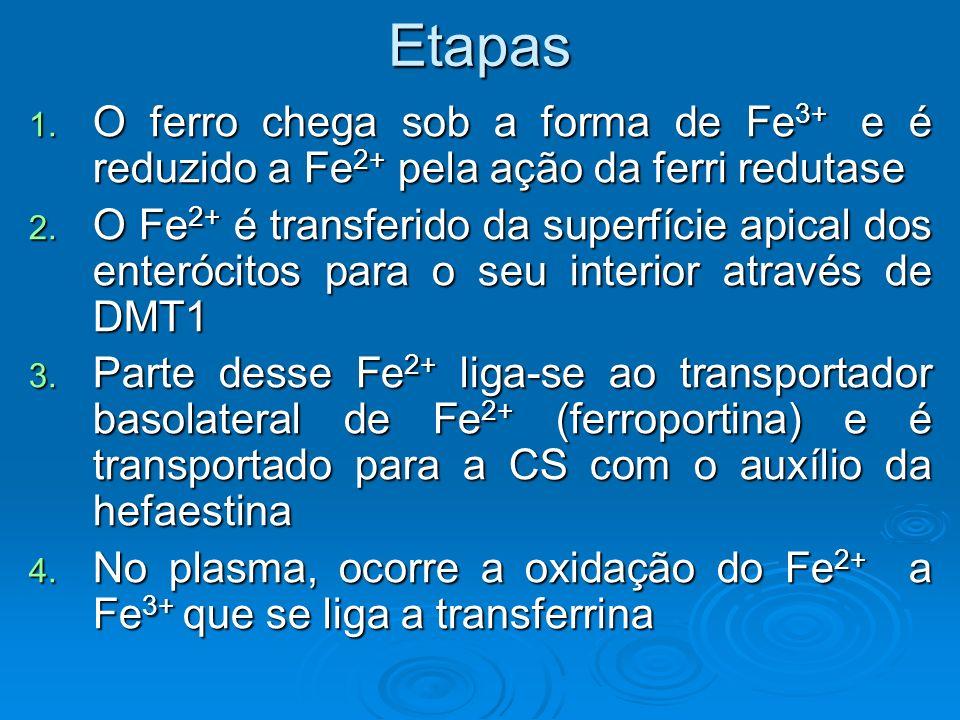 Etapas 1. O ferro chega sob a forma de Fe 3+ e é reduzido a Fe 2+ pela ação da ferri redutase 2. O Fe 2+ é transferido da superfície apical dos enteró