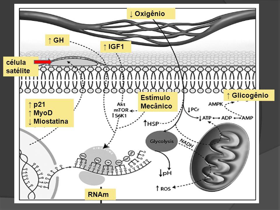 Estímulo Mecânico Glicogênio GH IGF1 p21 MyoD Miostatina Oxigênio célula satélite RNAm
